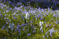 Scilla siberica, Siberian squill, Wood squill