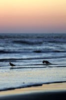 Birds at sunset in the water at a beach.