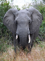 african elephant, south africa, wildlife