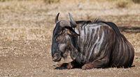 blue wildebeest in Kruger NP, South Africa