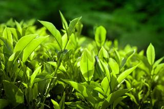 Tea leaves at plantation. India Munnar, Kerala
