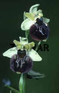 Spinnen-Ragwurz Ophrys sphegodes