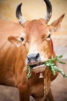 Holy indian cow eating grass. South India, Tamil Nadu