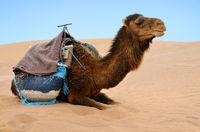 Reasting camel