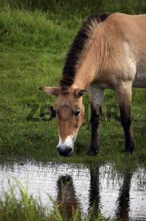 Przewalski Pferd