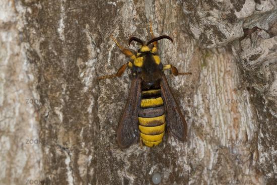 Hornet Moth, Hornet Clearwing
