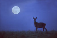 Red Deer hind on a forest glade in front of moon
