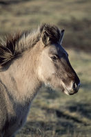 Heck Horse foal in the last evening light