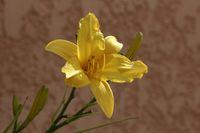 Hemerocallis hybrid, Daylily