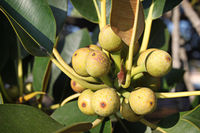 Closeup of a cluster of figs on a fig tree.