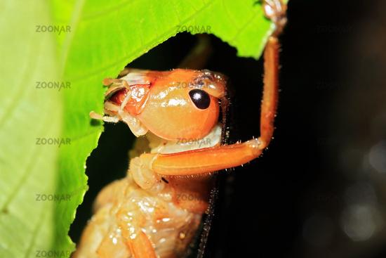 Close-up of a Cricket Feeding on a Leaf
