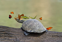 Tropical butterflie and a Yellow-spotted turtle