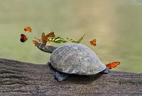 Tropische Schmetterlinge umringen eine Terekay-Schienenschildkröte (Podocnemis unifilis) und versuchen ihre Tränenflüssigkeit zur Deckung des Mineralstoffbedarfs zu trinken