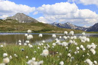 Wollgrasblüte auf einem Bergsee, Tirol, Tyrol
