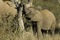 Young African Elephant breaking branches