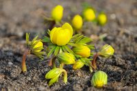 Winterling - winter aconite 10