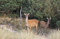 Red Deer hind and calf standing in heath