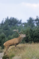 Roaring Red Deer stag with visible pizzle in dune