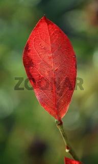 rotes  Blatt der Heidelbeere