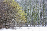 forest with blooming hazel tree in winter