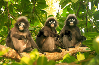 Spectacled langurs sitting in a tree, Ang Thong National Marine Park, Thailand