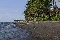 Kokospalmen (Cocos nucifera), am schwarzen Lavastrand von Lovina, Nordbali, Bali, Indonesien