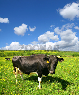 cow on green dandelion field under blue sky