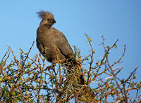 grey go-away bird, South Africa