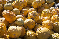 Different pumpkins for decoration and cooking