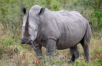 white rhinoceros in Kruger Park, south africa
