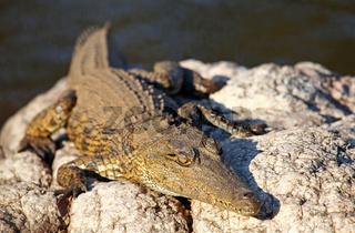 Nilkrokodil im Kruger Nationalpark, Südafrika; crocodile in Kruger National Park, South Africa, Crocodylus niloticus
