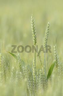Weizen, Deutschland