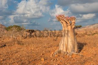 Desert rose tree, Socotra Island, Yemen