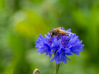 Bee on wild blue flower