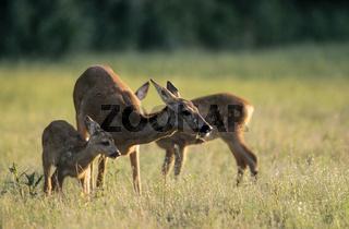 Ricke und Rehkitze auf einer Waldwiese - (Reh - Europaeisches Reh) / Roe Deer doe and fawns in a forest meadow - (European Roe Deer - Western Roe Deer) / Capreolus capreolus