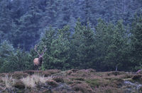 Red Deer stag standing on a forest glade