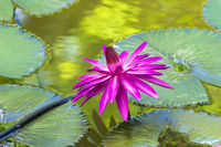 Nymphaea on Leaves.