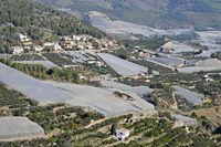 Medlar plantations