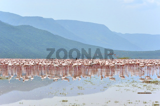 Unzählige Zwergflamingos am Bogoria See
