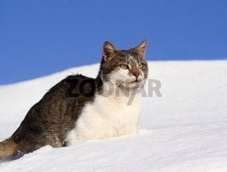 Domestic cat walkin in snow against blue sky