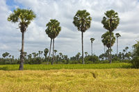 Rice field with Asian Palmyra palm trees