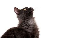 Beautiful black cat with yellow eyes on studio white background