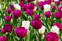 Tulpen lila und weiss - tulips purple and white 01
