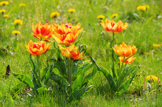 Tulpe rot gelb - tulip red yellow 05