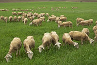 Lacaune dairy sheep, Roquefort region, France