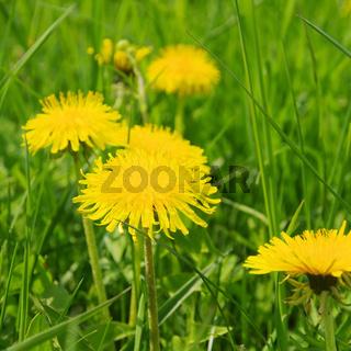 Loewenzahn - dandelion 27