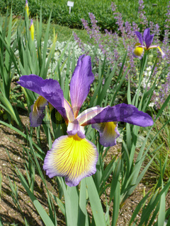 Iris spuria Eleanor Hill, Steppeniris