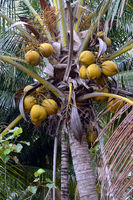 Kokosnüsse an einer Kokospalme (Cocos nucifera), Lovina, Nordbal