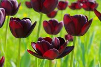 Tulpe Queen of Night - tulip Queen of Night 01