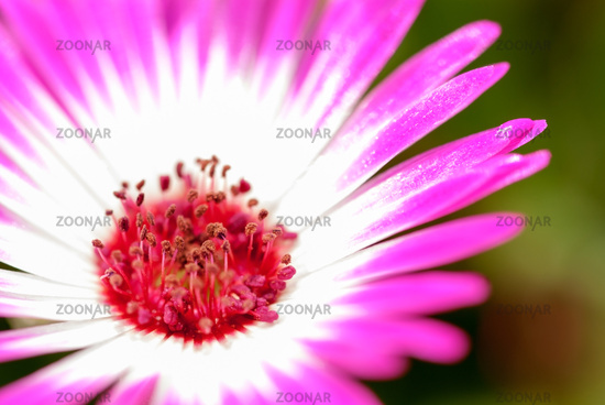 Close Up Of One Single Sunny Pink Daisy Flower
